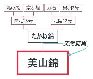 美山錦の系譜